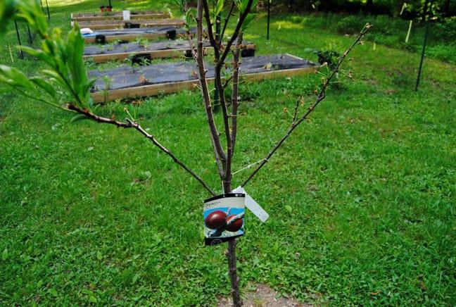 plum tree growing